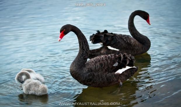 Австралийские черные лебеди