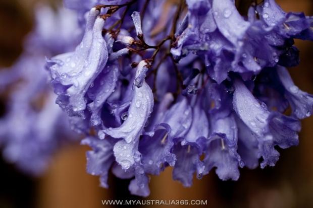 цветение джакаранды в Австралии