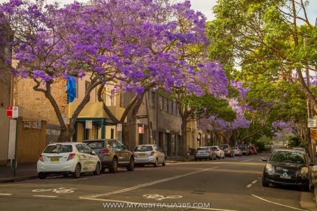 джакаранда в Австралии