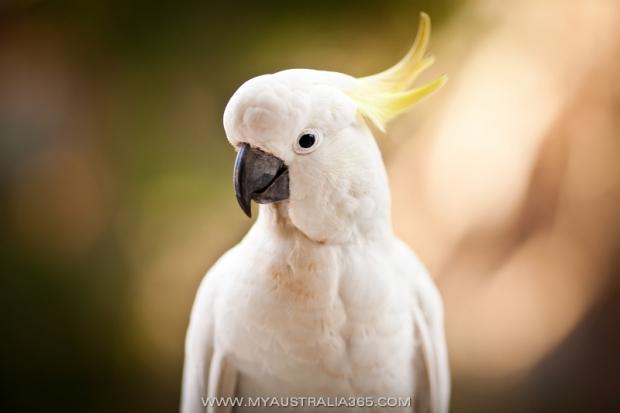 Австралийский хохлатый какаду