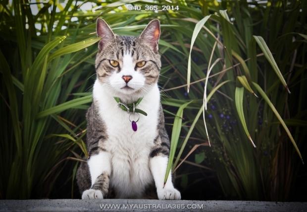 Австралийские коты и кошки