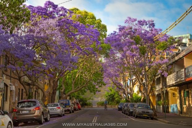 цветение джакаранды в Сиднее