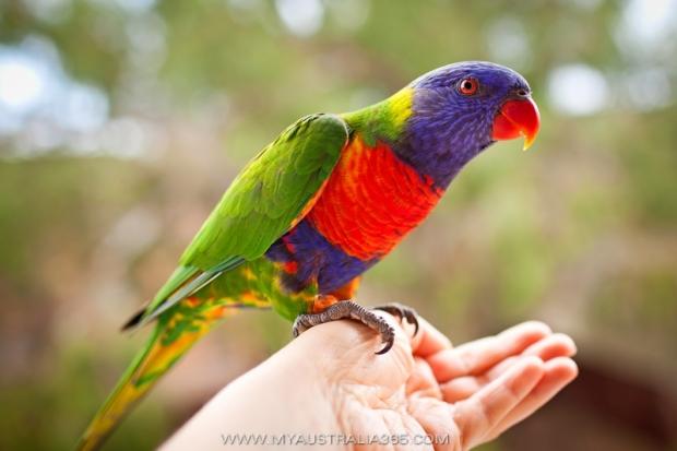 австралийские ручные попугаи