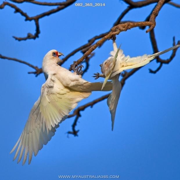 82/365/2014 | Длинноклювый корелла(носатый какаду)