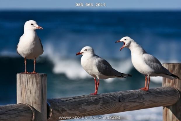 австралийские чайки
