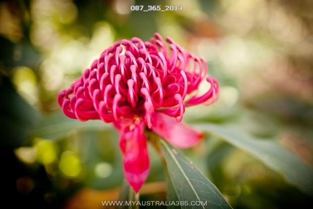Варата — официальная эмблема штата Новый Южный Уэльс