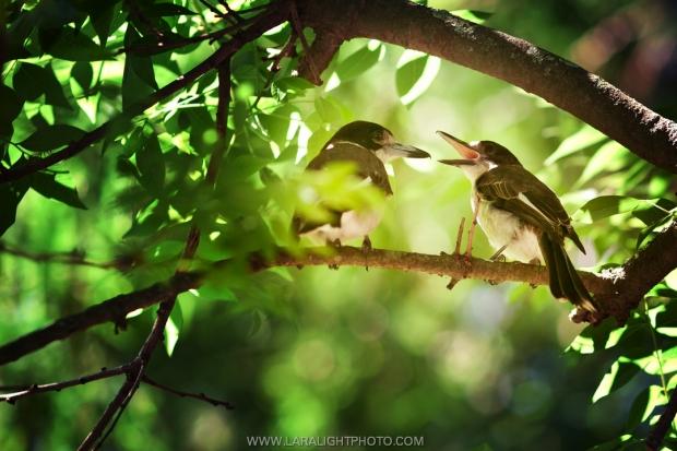 австралийские зимородки