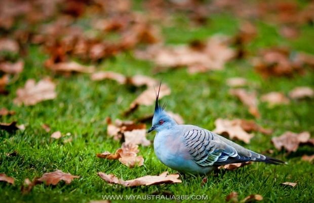 Хохлатый голубь Crested Pigeon
