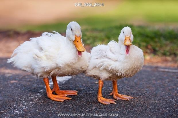 Китайские утки в австралийских парках