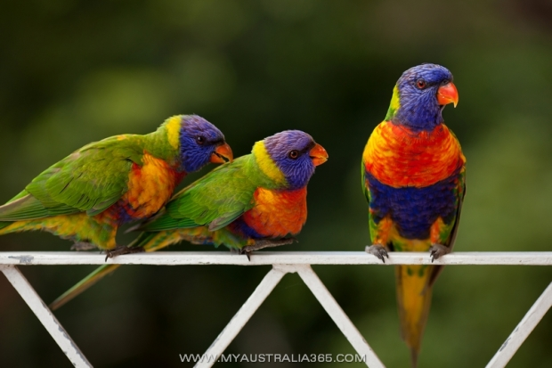 Австралийские радужные лорикеты