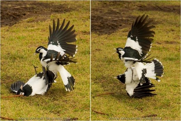 австралийские птицы