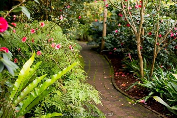 В Сиднее есть целый сад, посвященный камелиям – Camellia Gardens. Сад сам по себе крошечный, но в нем представлено действительно очень много разных видов камелий. Основанный в 1969-м году, этот сад является одним из 40 лучших в мире садов камелий и единственным садом в штате Новый Южный Уэльс, где ведутся работы по выведению новых сортов.