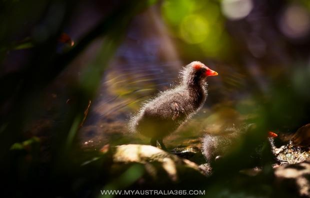 Птенец болотной курицы swamp chicken