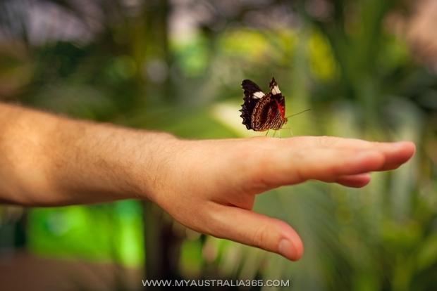 Ручные бабочки в Сиднее