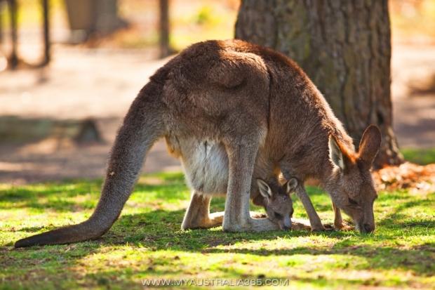 Поразительные факты о кенгуру