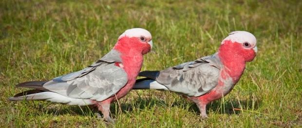 Австралийские попугаи гала