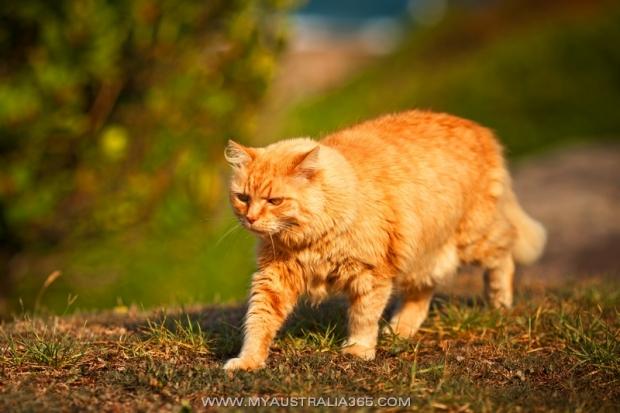 Австралийский кот