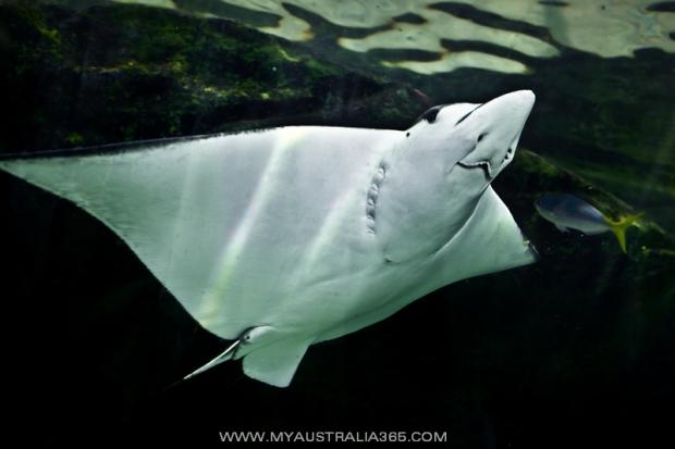 Австралийский скат в морском бассейне