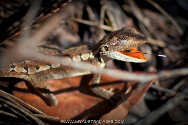 Австралийская ящерица Jacky Lizard