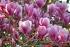 Цветение магнолии в Сиднее