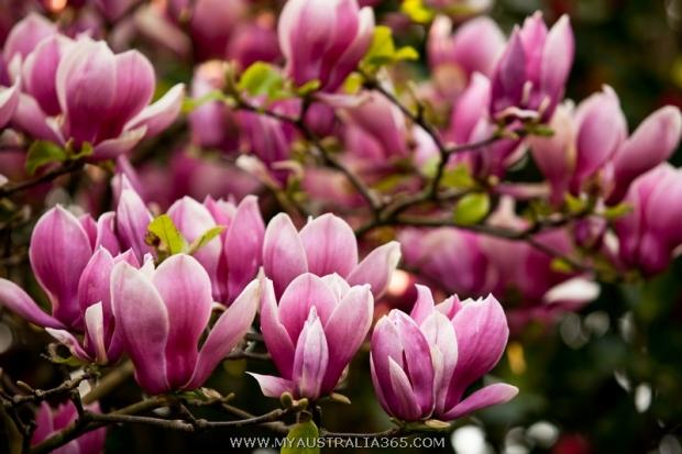 Сезон цветения магнолии в Сиднее