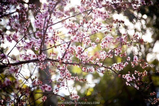 Фестиваль цветения вишни в Японском саду в Сиднее