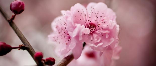 сезон цветения вишни в Сиднее