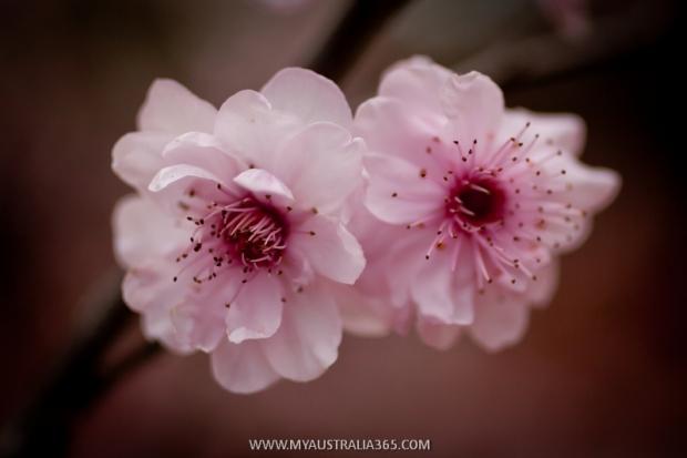 как цветет вишня в Австралии