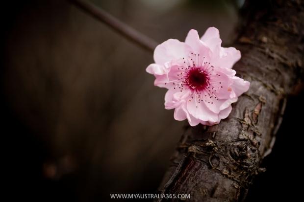 как цветет австралийская вишня