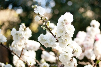 цветение сакуры в Сиднее фестиваль