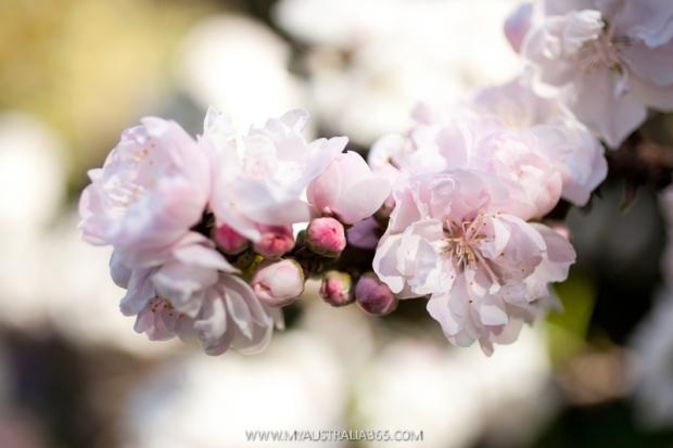 австралийская вишня весной