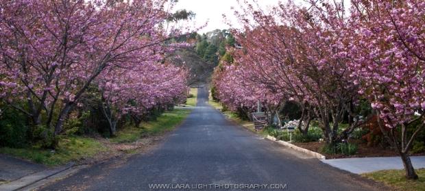 цветение австралийской вишни в Голубых горах