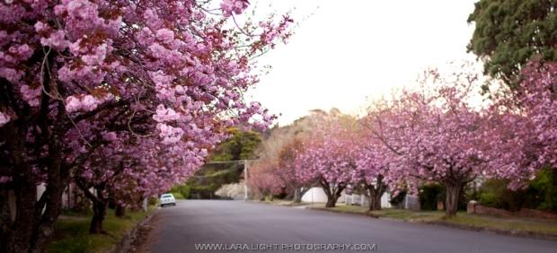 аллеи цветущей вишни в Голубых горах