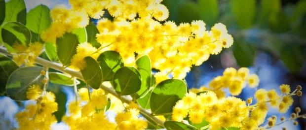 Национальный цветок Австралии — золотистая акация Golden Wattle