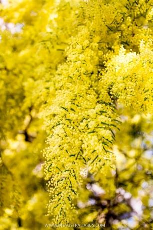 национальный флористический симыол Австралии