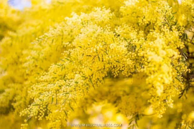 сезон цветения золотаистой акации в Сиднее