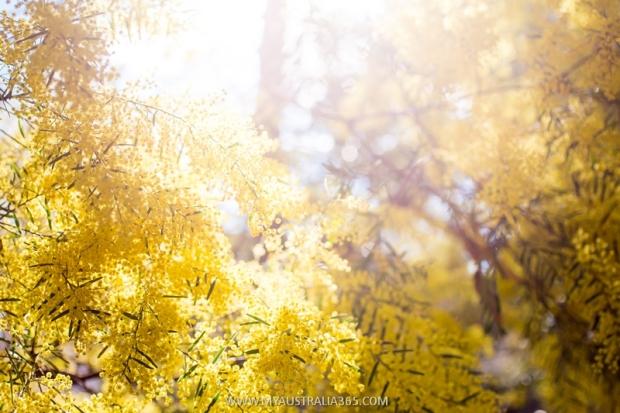 мимоза национальный цветок австралии