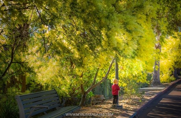весна и цветение золотистой акации в Сиднее