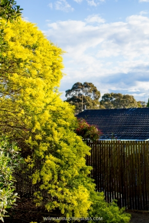 растительный символ австралии золотистая акация