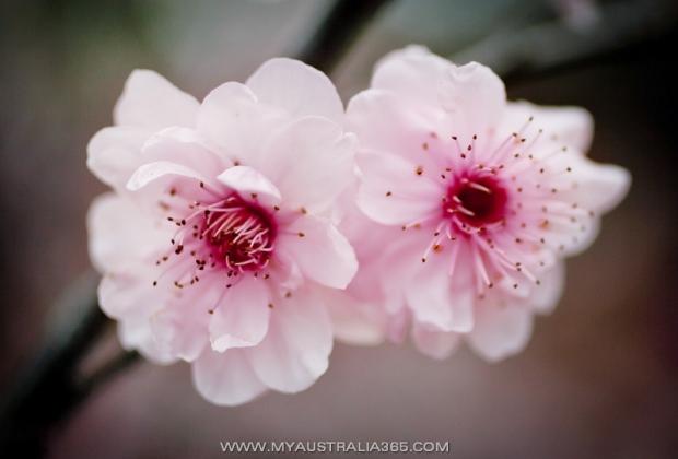 Цветение вишни в Сиднее
