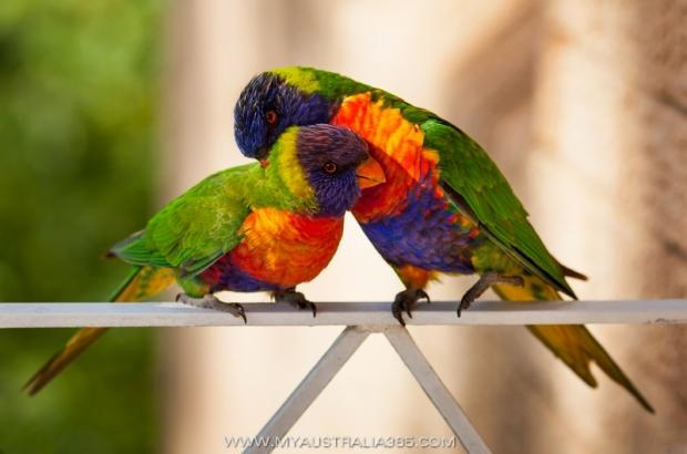 Истории из жизни австралийских попугаев