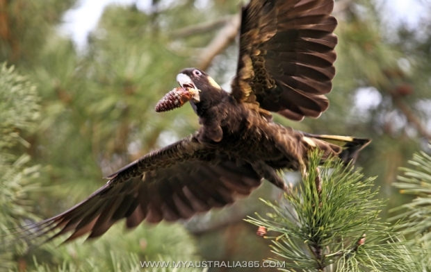 Черный какаду(траурнай какаду) Yellow-tailed black cockatoo
