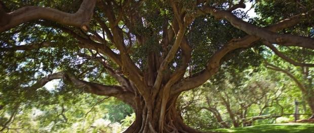 Фиговое дерево Ficus macrophylla( Moreton Bay)