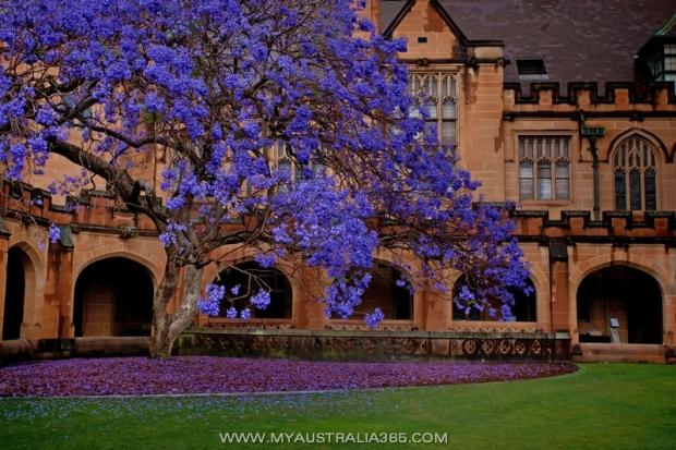 Джакаранда Jacaranda в Сиднее