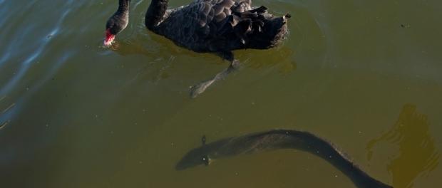 Черные лебеди и угри в Вековом парке в Сиднее